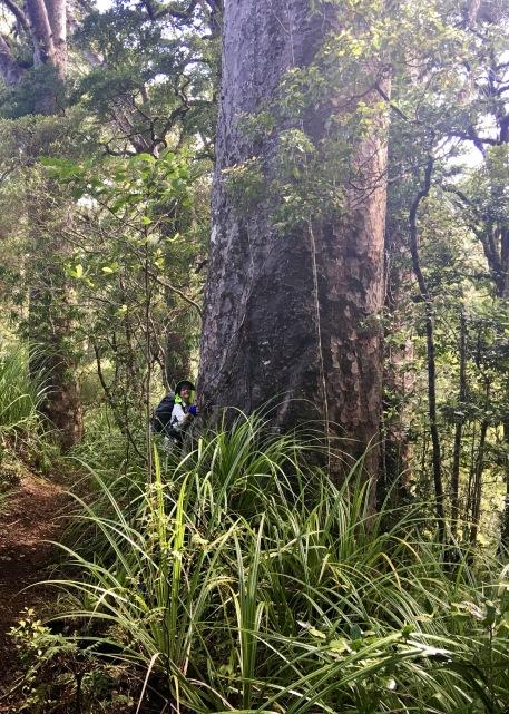 Majestic Kauri
