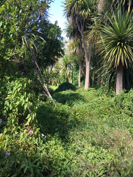 Whangamarino River Track overgrown with creepers